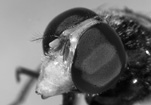 Volucella_pellucens_head_co