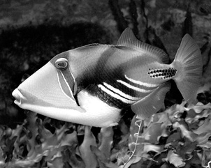 Picasso_triggerfish