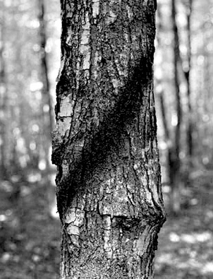 marked-tree-310x405_SW